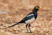 Yellow-billed Magpie, Pica Nut...