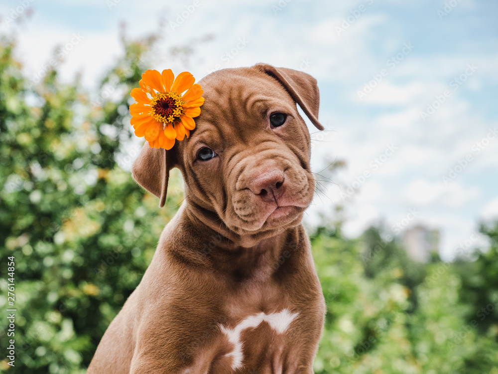 Fototapety, obrazy: Cute, charming puppy, sitting on a soft rug on a background of green trees, blue sky and clouds on a clear, summer day. Close-up. Pet care concept