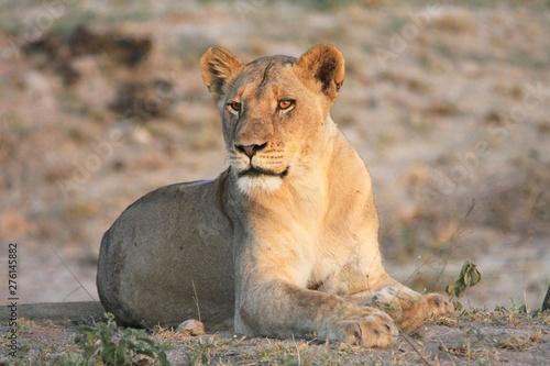 Fotografia une lionne couchée dans la savane en Afrique du Sud