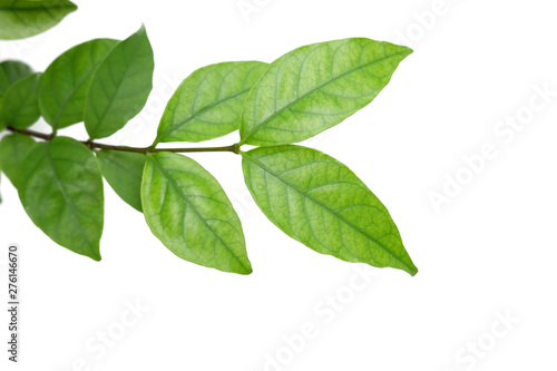 Fototapeta Green tree leaf isolated on white background obraz na płótnie