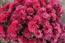 Cerise Red Flowers Of Chrysanthemum In November