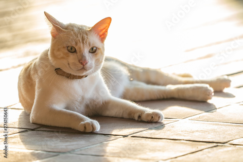 Fat male Asian cat lying on the wood floor with exposure light behind.