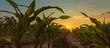 Leinwandbild Motiv Corn field in sunset