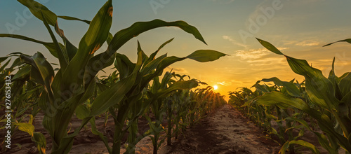 Foto Corn field in sunset
