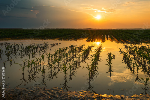 Flooded young corn field plantation with damaged crops in sunset Fototapeta