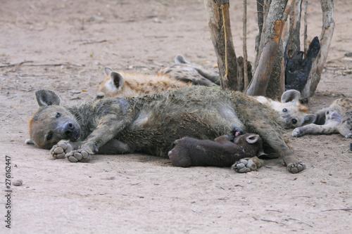 Photo sur Toile Hyène une famille de hyènes dans la savane en Afrique du Sud
