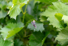 Spider Argiope Lobata Rolled A Butterfly Into Cocoon Of Spider Web On Green Grapes Background.