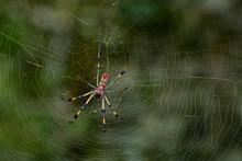 Golden Silk Spider 03