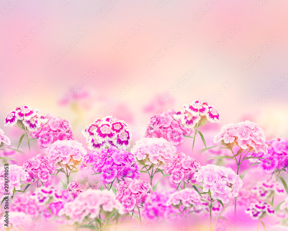 Fototapety, obrazy: Pink and purple carnation flowers  for  background