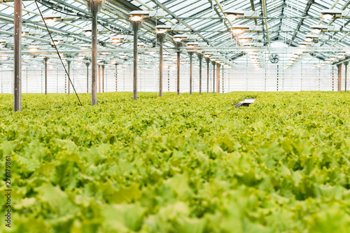 Stampa su Tela Industrial production of lettuce and greens