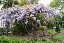 Blue Rain Wisteria Blossom. Chinese Wisteria And Japanese