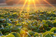 canvas print picture - Soy field lit by beams of warm early morning light. Soy agriculture