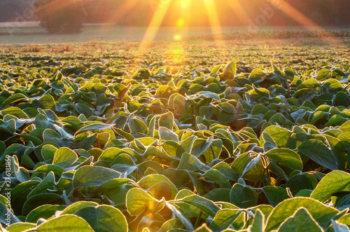 Fototapeta Soy field lit by beams of warm early morning light. Soy agriculture obraz