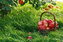 Harvesting. Apples In A Basket...