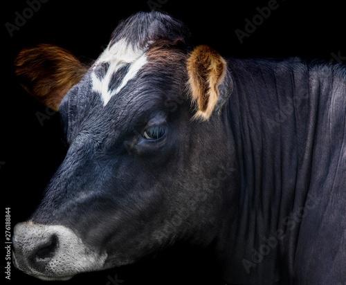 Fototapeta A close up photo of a cow obraz