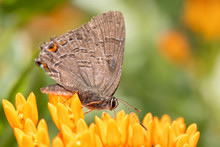 Banded Hairstreak Butterfly Feeding On Bright Orange Butterflyweed
