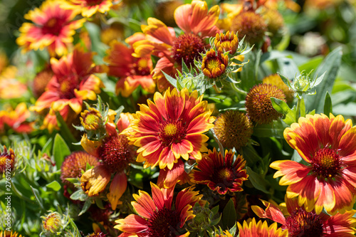 Photo Gaillardia pulchella is a genus of annual and perennial plants of the Asteraceae family