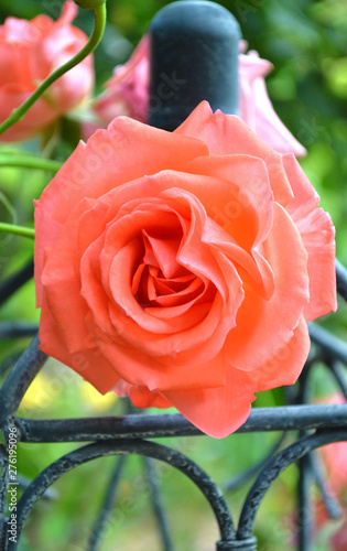 Pink rose on trellis