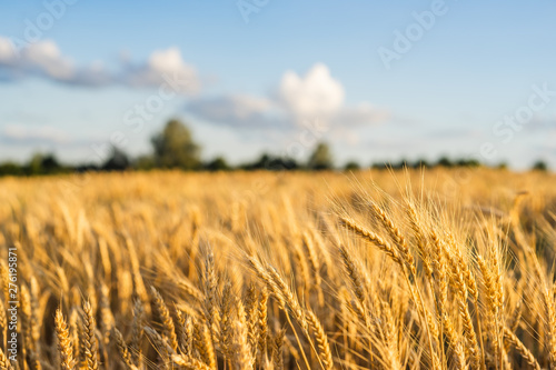 Garden Poster Culture Wheat Field Ears Golden Wheat. Rich harvest Concept.