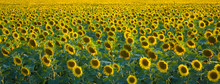 Panoramic View Of A Green Field Of Sunflower With Blooming Flowers Directed To The Sun.