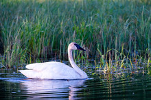 Trumpeter Swan In Small Pond, ...