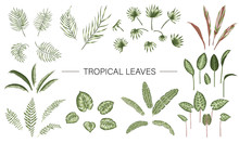 Vector Set Of Tropical Plant Leaves. Jungle Foliage Collection. Hand Drawn Palm Tree, Banana, Monstera, Dieffenbachia, Terminalia, Fern, Alocasia, Cordyline. Home Tropic Leaf Clip Art.