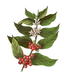 Hand drawn colorful coffee plant. - 276212631