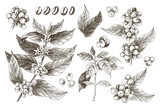 Hand drawn set of coffee tree branches and beans - 276212830