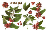 Hand drawn set of colorful coffee tree branches and beans - 276212896