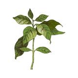 Hand drawn coffee seedling - 276212897