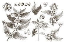 Hand Drawn Set Of Coffee Tree ...