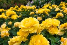 Yellow Rose Flower In A Rose Garden
