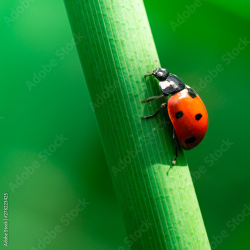 Ladybug walks up on the stem of a plant, Coccinellidae, Arthropoda, Coleoptera, Wallpaper Mural