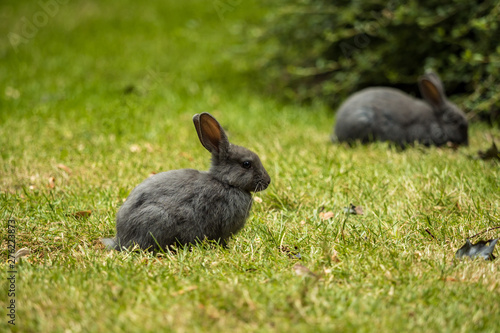 one grey rabbit sitting on green grassy ground while another