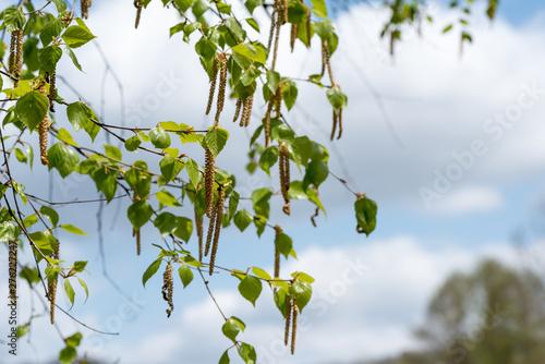 シラカバ 花粉