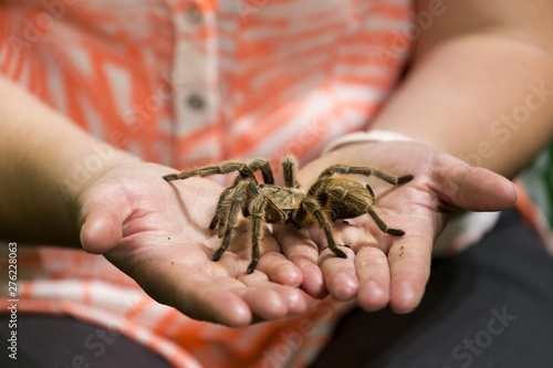 Human Hands holding Large Tarantula Spider Canvas Print