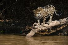 A Jaguar (Panthera Onca) Walki...