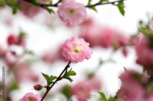 Photo  Pink almond flower blossoms in the spring