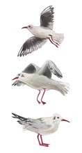 Watercolor Set Of Three Gulls In Various Positions. For Compositions On The Theme Of Rest On The Coast. Birds On A White Background
