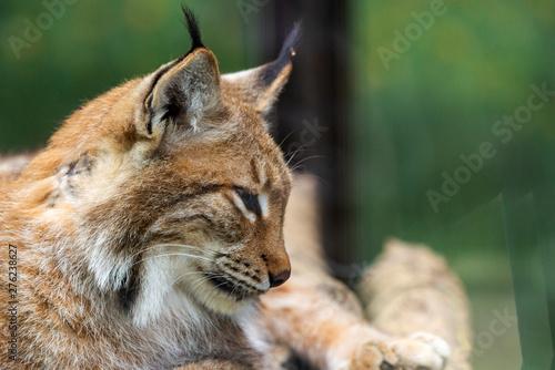 Foto auf Leinwand Luchs Portrait of Eurasian lynx. Portrait of wild mammal