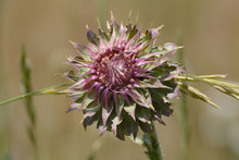 Musk Thistle Or Carduus Nutans Flower On Field Of Wild Grass And Wheat