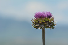 Purple Musk Thistle Flower Or Carduus Nutans Against Blurred Background Of Rocky Mountains With Clouds