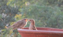 Mother Sparrow Feeding Baby