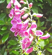 Beautiful Mix Of Fox Glove Flowers And Roses In Walled Garden In Ireland