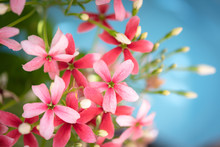 Beautiful Pink And Red Rangoon Creeper Flowers Over Blue Background