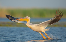 The Great White Pelican Preparing To Take Off From The Water. The Bird Has It's Wings Wide Open And The Legs Touching The Water Before Take-off