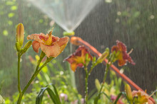 """Daylily (hemerocallis) """"Elegant Candy""""  With Drops  The Background Of The Water Jet In The Garden"""