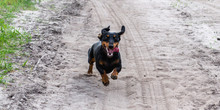 A Single Happy Black Dachshund Dog Runs Fast For The Car Or Bicycle On Sandy Road
