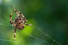 A Spooky Big Spider Close Up Or Macro And The Web On Blurry Green Or Garden Background