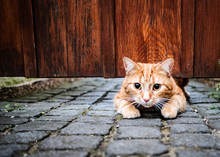 A Cute Young Cat Squeezing Under A Gate